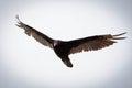 Flying raptor Royalty Free Stock Photo