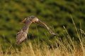 Flying red tailed hawk above the culm grass Stock Images