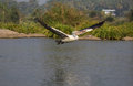 Flying in the river pelican after its search Stock Image
