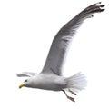 Flying sea gull Royalty Free Stock Photo