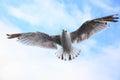 Flying sea-gull Royalty Free Stock Photo