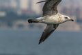 Flying seagul in bosphorus to find freedom istanbul Stock Image