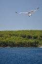 White Seagull with spread wings flying against a b Royalty Free Stock Photo