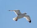 Flying seagull above the adriatic sea in summer Stock Photo