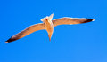 Flying seagull against the sky Stock Images