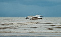 Flying seagull on the beach of Blackpool, view to wet beach and Royalty Free Stock Photo