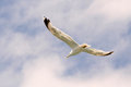 Flying seagull blue sky soaring white blue shore beach water front bird white Stock Photo