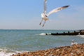 A flying seagull on the eastbourne beach beautiful Royalty Free Stock Photography