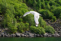 A flying seagull hovers over forest. Royalty Free Stock Photo