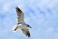 Flying seagull lone against a blue sky in horizontal orientation Royalty Free Stock Photography