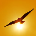 Flying seagull the silhouette of Stock Images