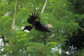 Flying silvery cheeked hornbill amoung the trees Stock Photo