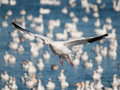 Flying  snow goose Royalty Free Stock Image