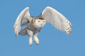 Flying snowy owl bubo scandiacus looking at the horizon Stock Photo