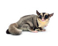 Flying squirrel sugarglider isolated on white Stock Photo