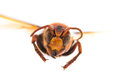 Flying Wasp, Insect Royalty Free Stock Photo