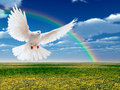 Flying white dove a free isolated on a nature rainbow background Stock Image