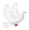 Flying white pigeon on a white background