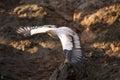 Flying white scavenger vulture over rocks Royalty Free Stock Image