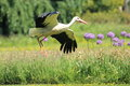 Flying white stork Royalty Free Stock Images