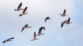 Flying wild geese in the morning light Royalty Free Stock Image