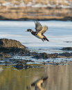 Flying wood duck drake in flight over a frozen wetland Stock Photography