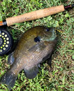 Flyrod bluegill large with fyrod and reel Royalty Free Stock Images