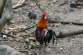 Fmale Red junglefowl (Gallus gallus) Stock Image