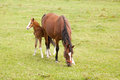 Foal behind mare in meadow brown hides grassy Royalty Free Stock Image
