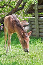 Foal brown feeding on grass Royalty Free Stock Photography