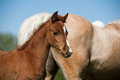 Foal closeup Royalty Free Stock Images