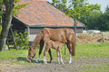 Foal drinking milk horse mare and on a dutch farm Royalty Free Stock Photo