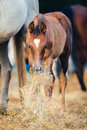 Foal eating hay near mare Royalty Free Stock Photo