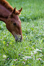 Foal feeding Royalty Free Stock Image