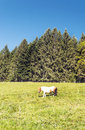 Foal grazing in the forests Royalty Free Stock Photo