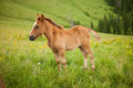 Foal on greent meadow in mountains Royalty Free Stock Photo