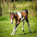 Foal little in the wild romp in the paddock Royalty Free Stock Photography
