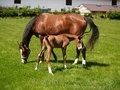 Foal with mare Stock Image
