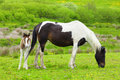 Foal with a mare in meadow Royalty Free Stock Photos