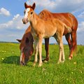 Foal with a mare on a summer pasture Royalty Free Stock Photo