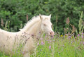 Foal on a meadow Stock Photography