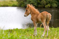 Foal mini horse Falabella Royalty Free Stock Photos