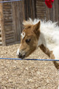 Foal portrait Royalty Free Stock Photo