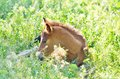 Foal resting adorable in the grass in daytime Royalty Free Stock Photography