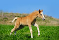 Foal run Stock Image