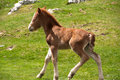 Foal running on a pasture Royalty Free Stock Photo