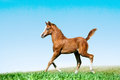 Foal runs in a field trotting Stock Photo