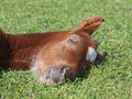 A foal sleeps on a grass head of asleep with the closed eyes background Royalty Free Stock Images