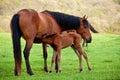 Foal sucks mare Royalty Free Stock Photo