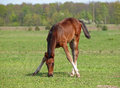 Foal on to the meadow a eats a grass Royalty Free Stock Photo